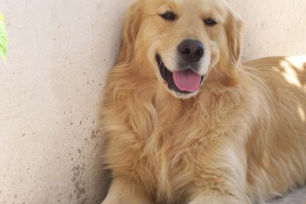 Qu es el sangrado proestrual de la perra - Es malo banar mucho a los perros ...